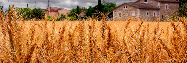 wheat is ready to harvest... by bernat..., on Flickr