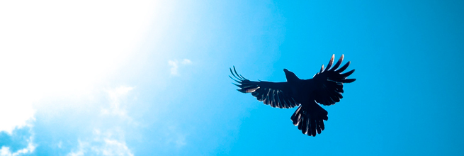 Crows - Towards the sun i fly, not as Icarus. by Hash Milhan, on Flickr