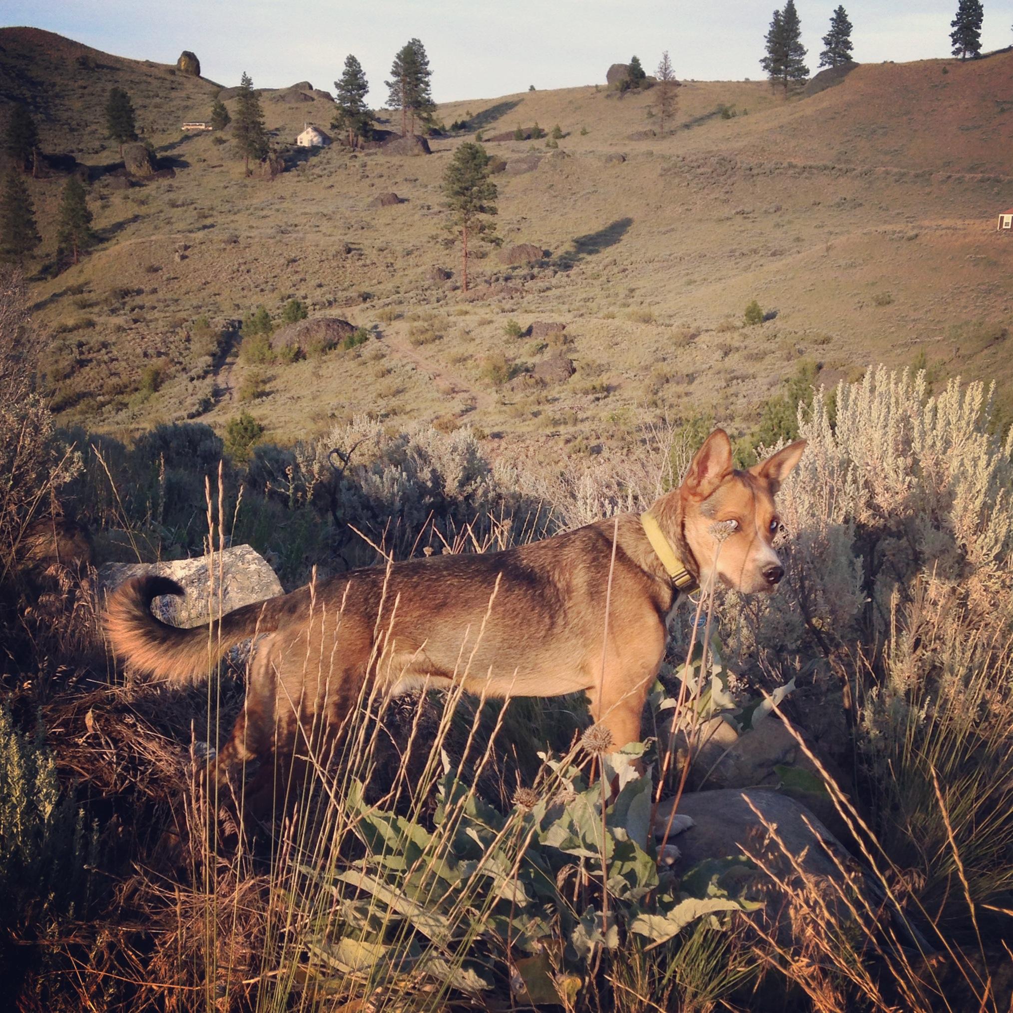 Zeus, the ever-vigilant deer chaser.