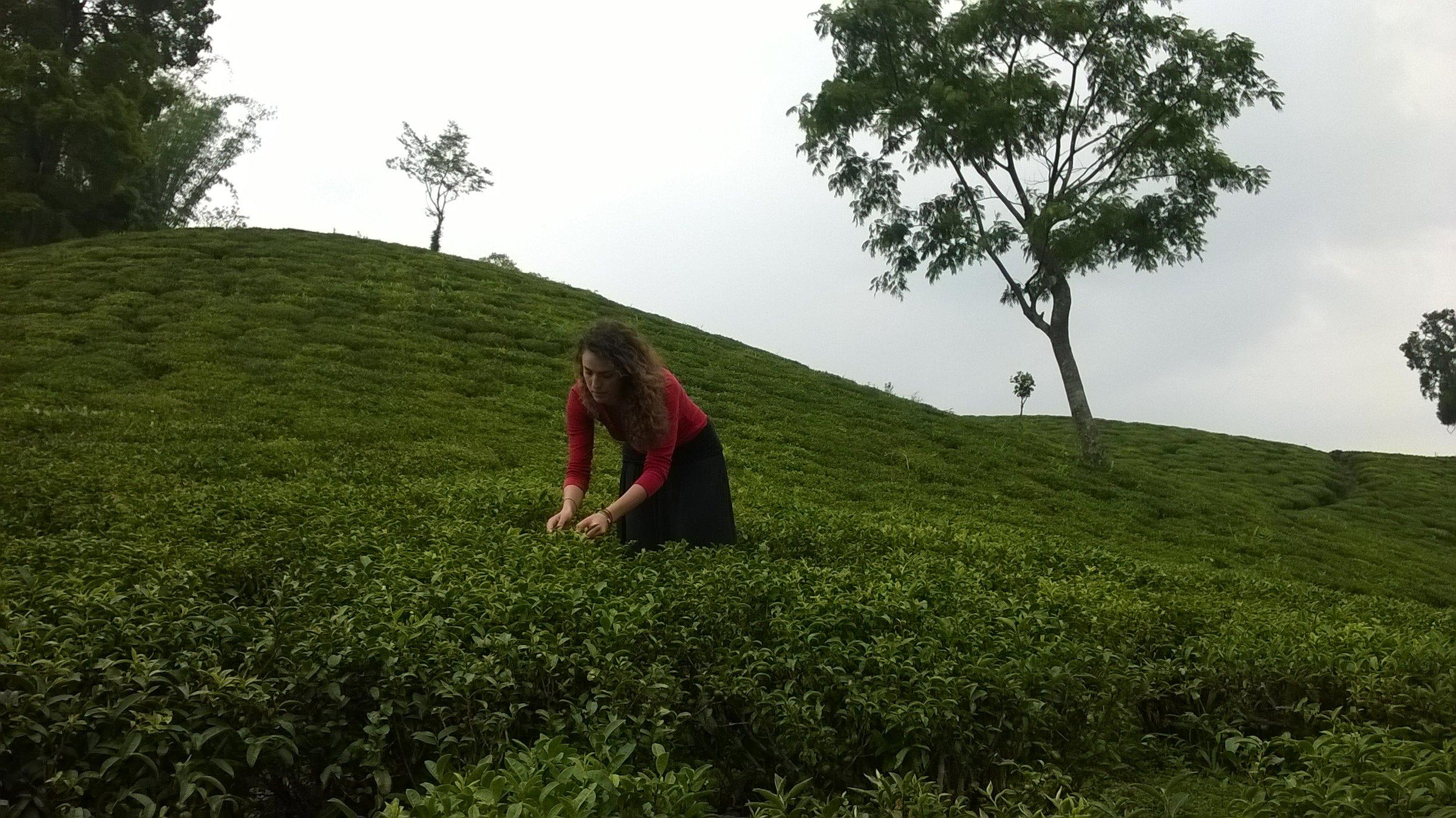 Ilam, Tea gardens. Nepal 2014