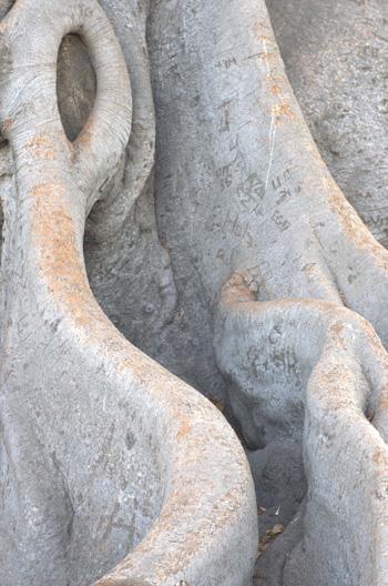 fig_tree.jpg