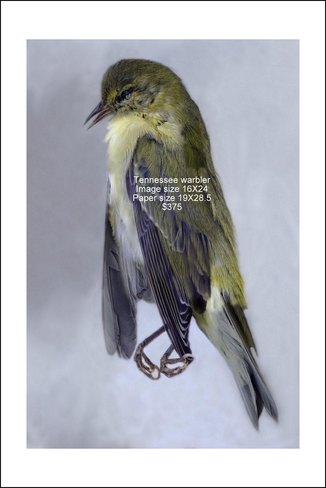 Tennessee warbler.jpg