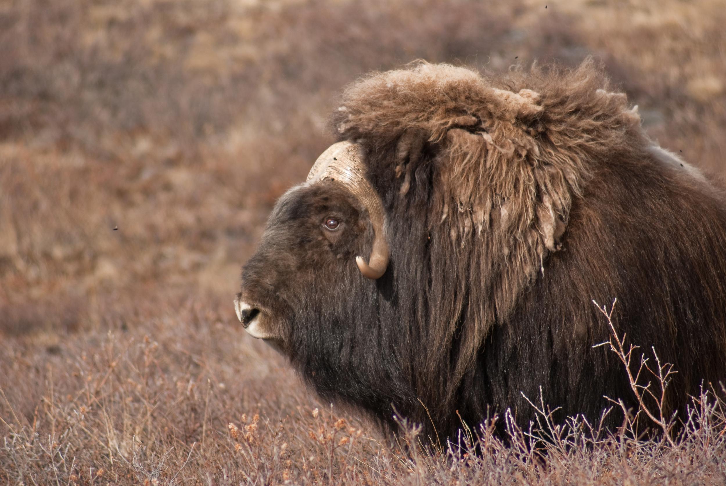 Musk ox bull resting.jpg