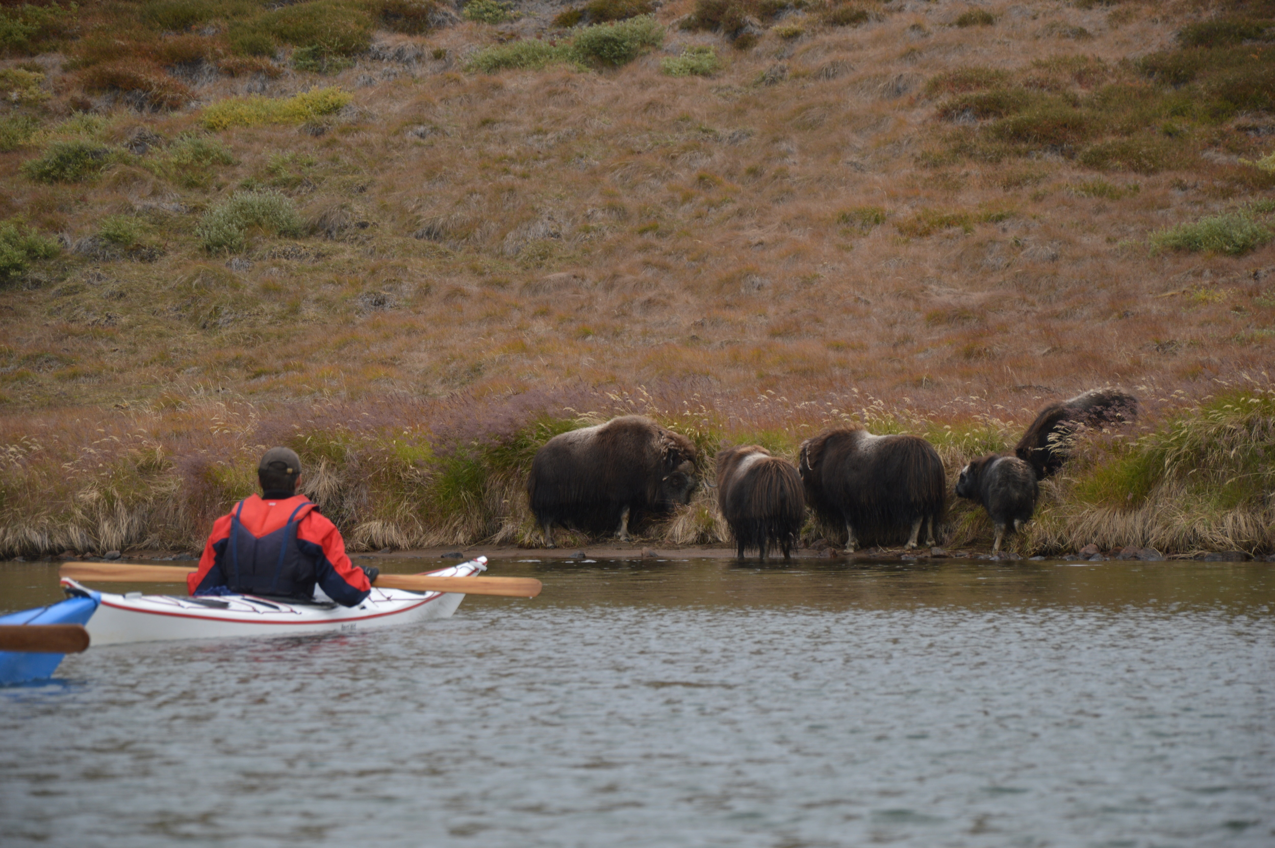 Musk ox thrill.jpg