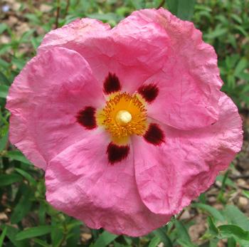 Pink Rock Rose    images.mooseyscountrygarden.com