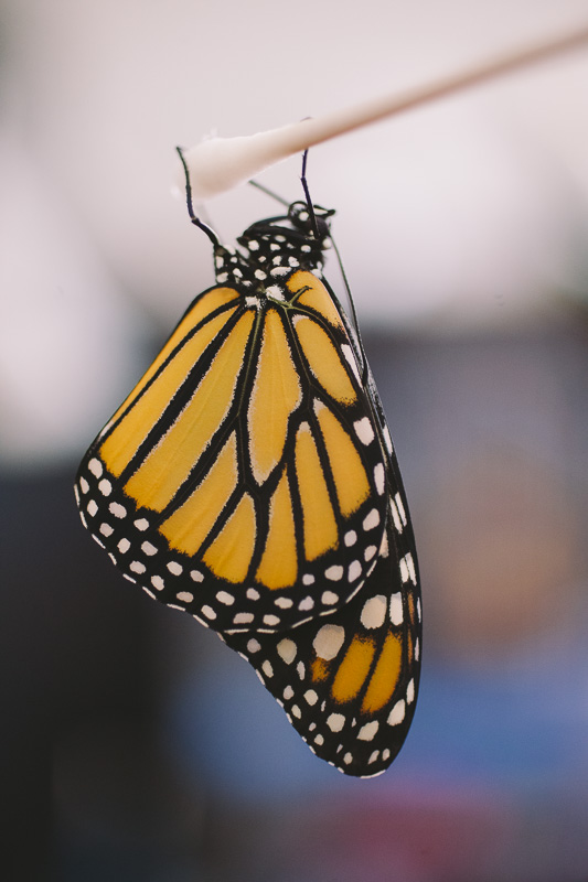 Monarch Butterfly just after hatching