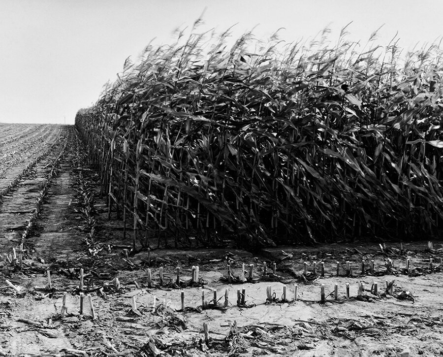 Maize Cutting, Serre, 1997