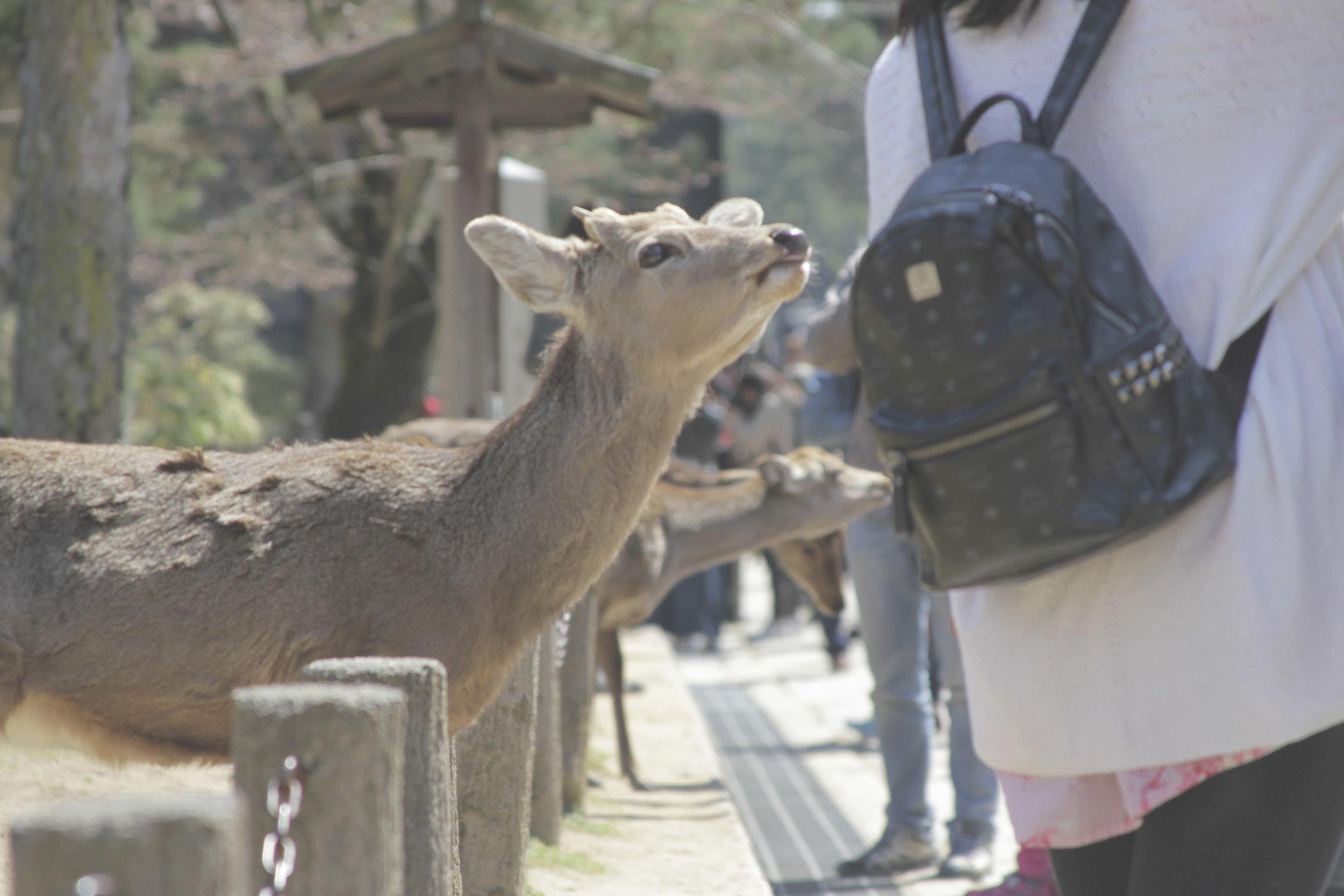 Veadinho pedindo biscoito pra turista.