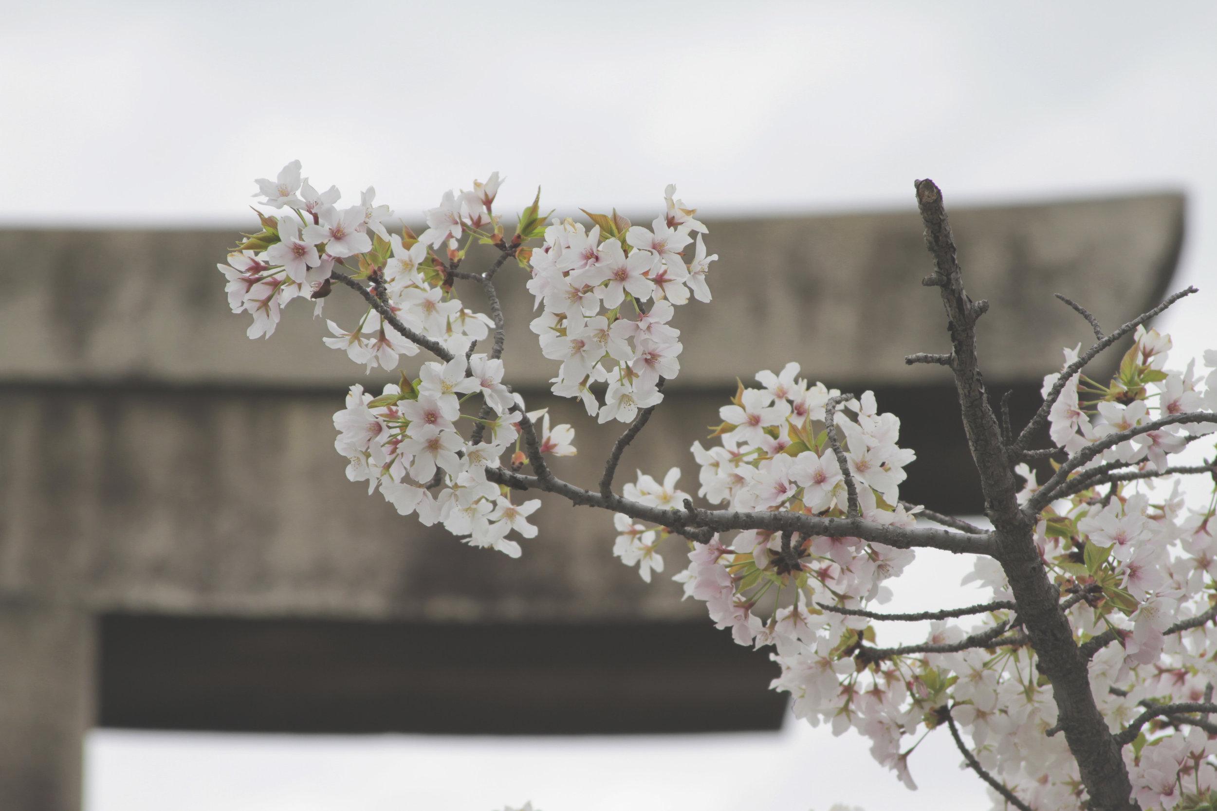 jardim_castelo_osaka_sakuras.jpg