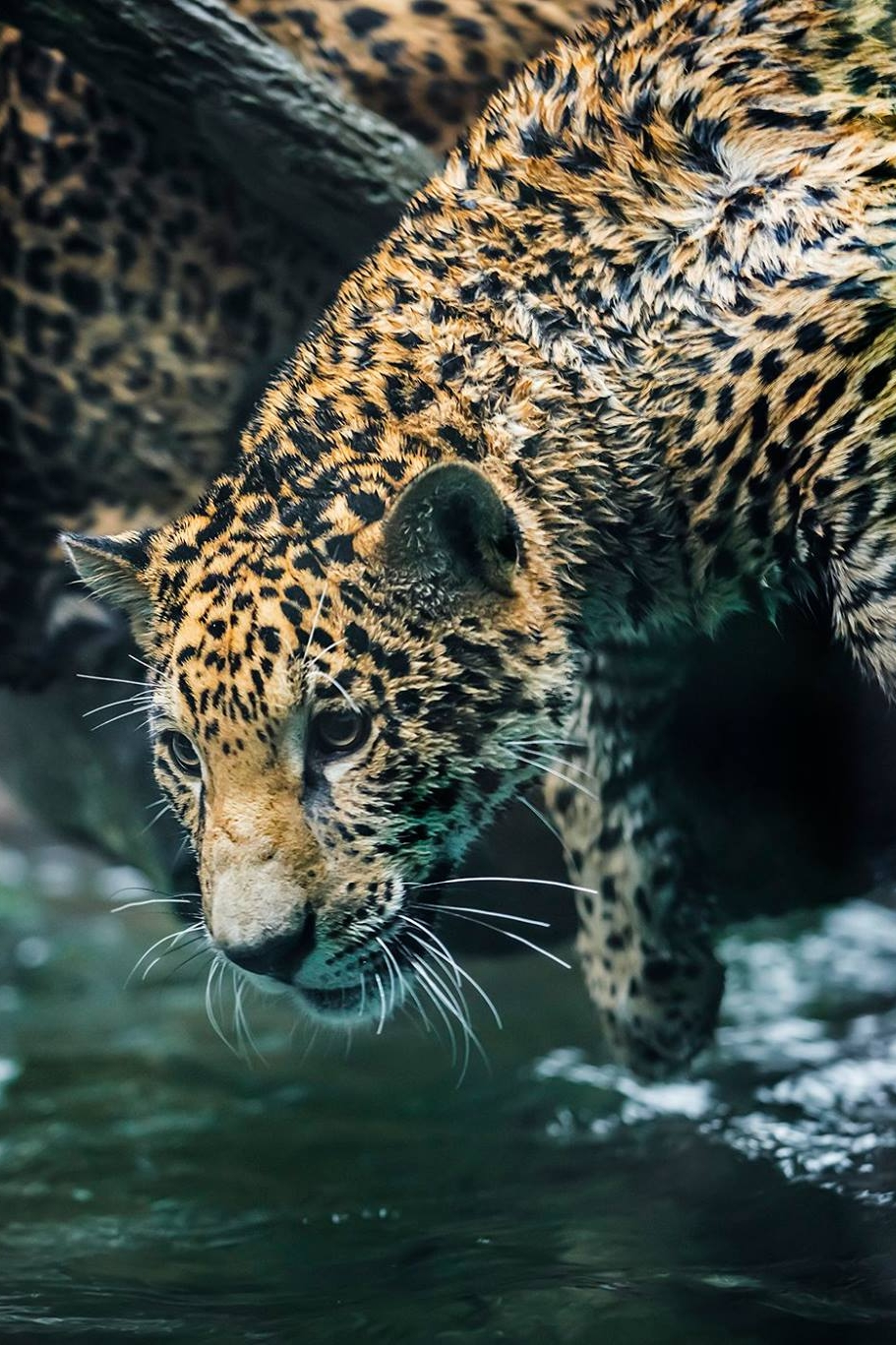 wILDLIFE - Explore the wildlife of Belize with experienced guides. Visit the jaguar preserve. Go birding in the rainforest. Go kayaking with manatees. Go swimming with whale sharks. The possibilities are endless.