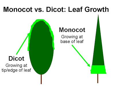 The dicot plant grows from the tip of the leaf, making it susceptible to uncontrollable growth when coming in contact with 2,4-D.    Growing from the base of the leaf, the monocot plant is unaffected.