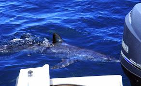 Shark Motor.jpg