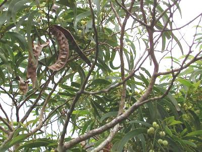 Acacia_Koa_trees.jpg