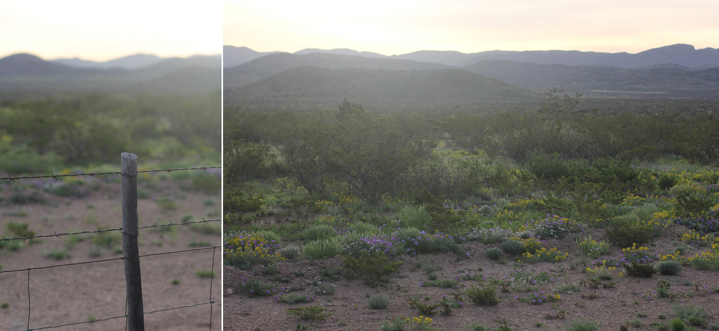 The one hour drive to Marathon, Texas – about half way to Big Bend National Park – was one through the earlymorning mist among the mooing cowsout in the desert.