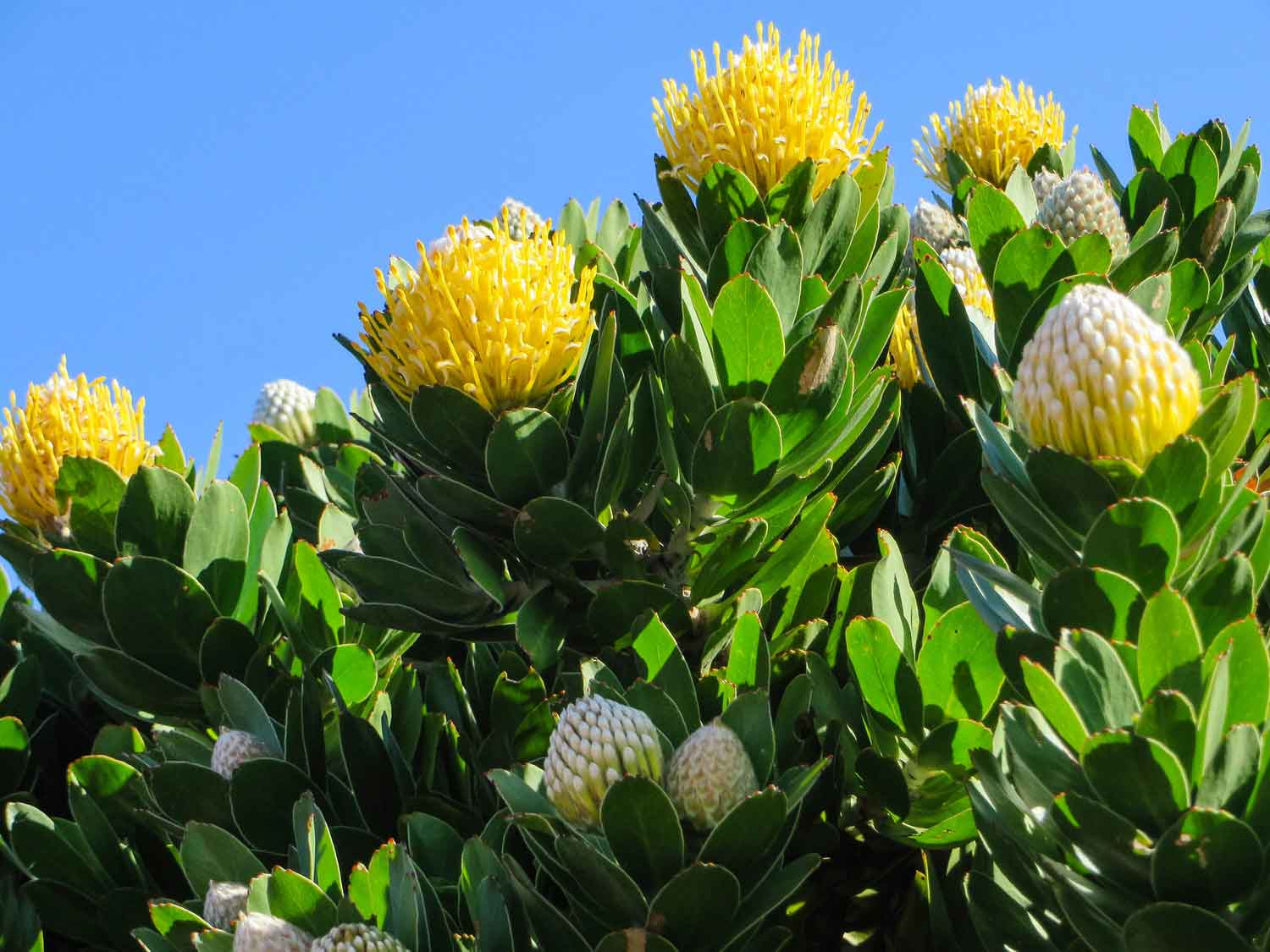 Protea South Africa Flower