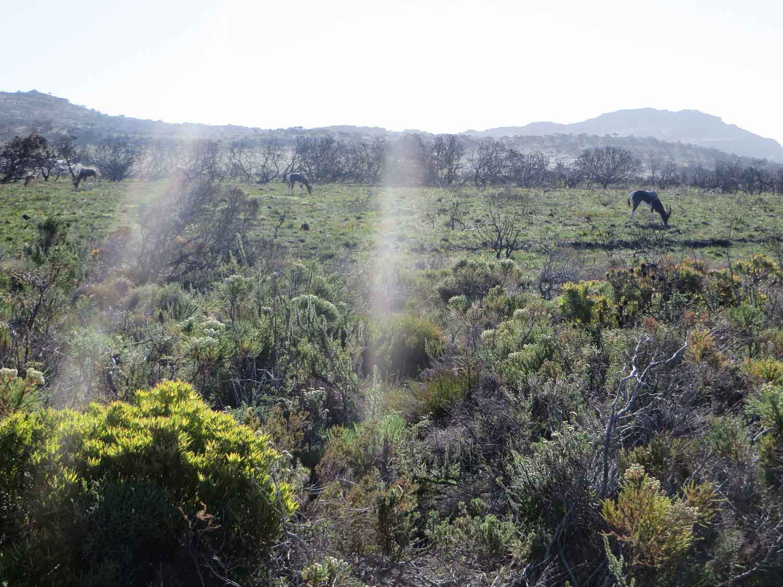Impala Cape Province South Africa