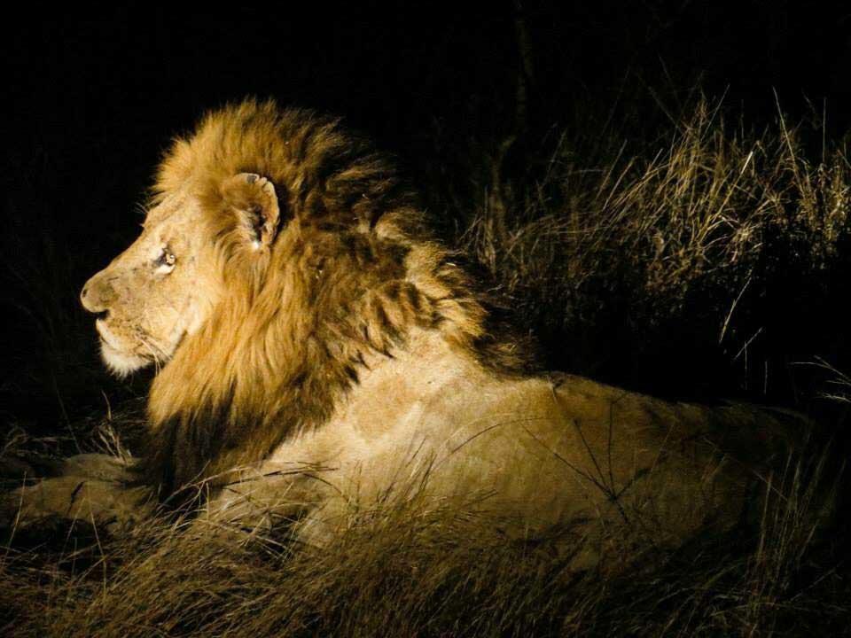 Lion-Kruger-National-Park