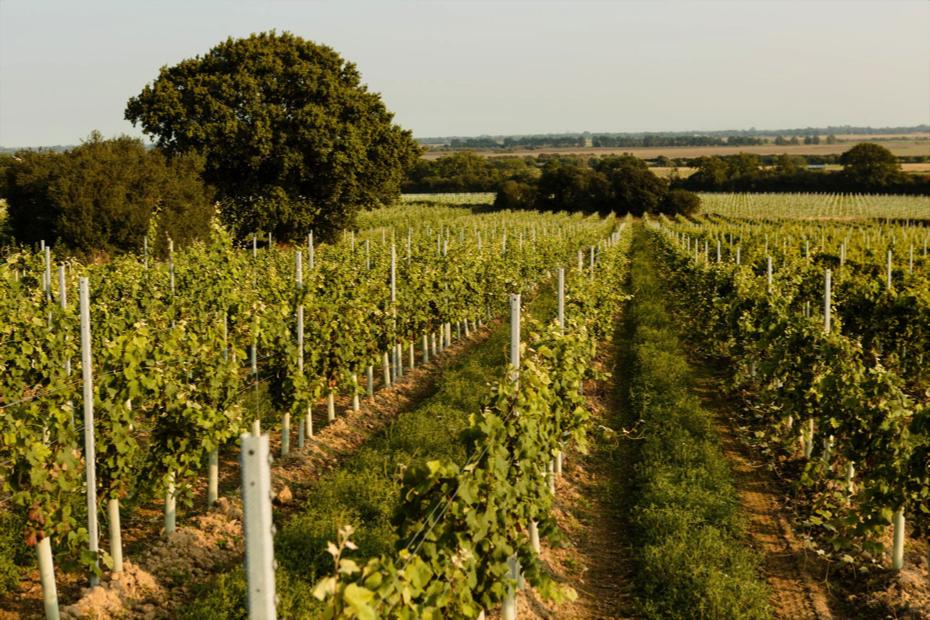 Vineyards at Gusbourne Estate, Kent