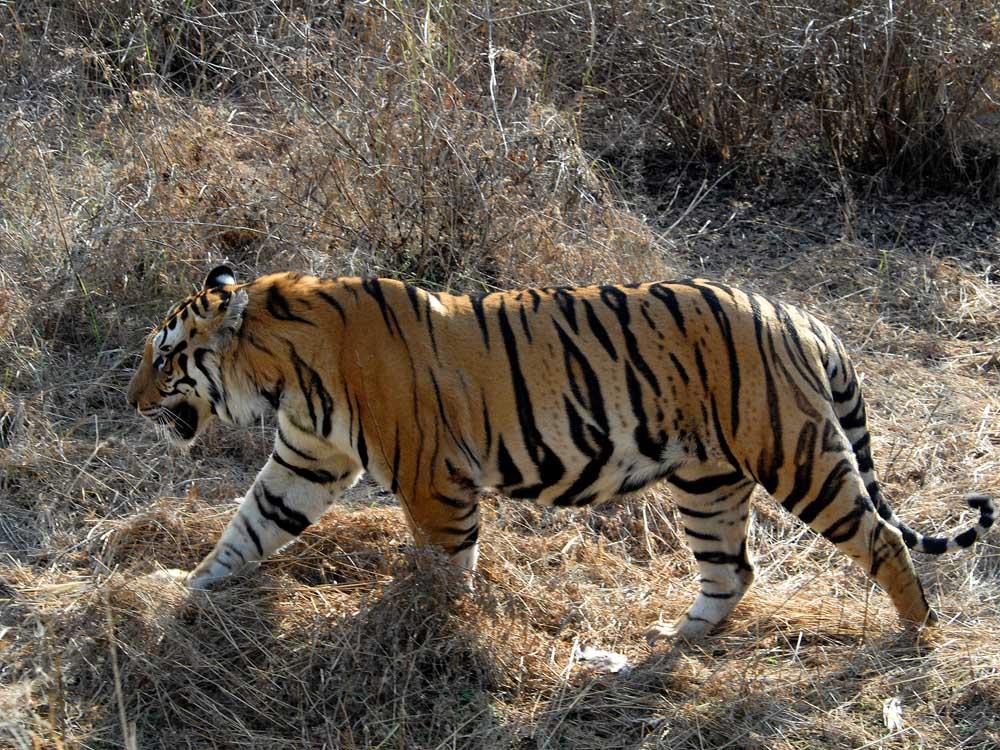 003 tiger.jpg