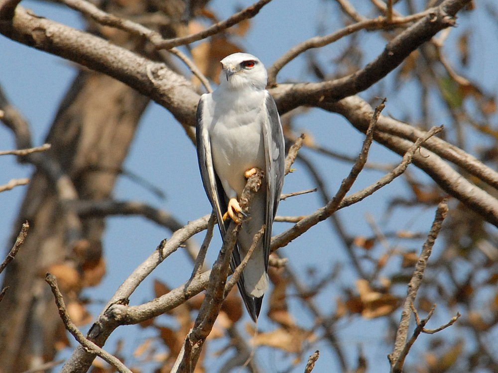 005 black-shouldered kite.jpg