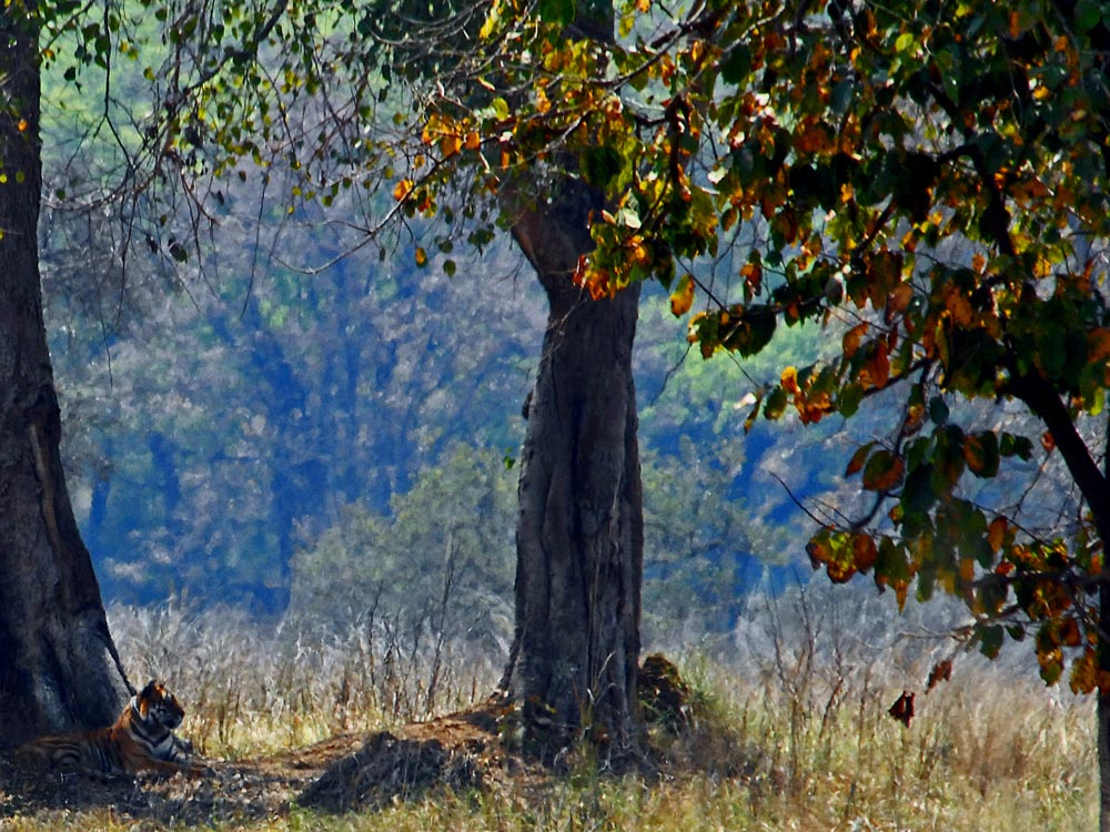 008 tiger in Kanha Nature Reserve.jpg