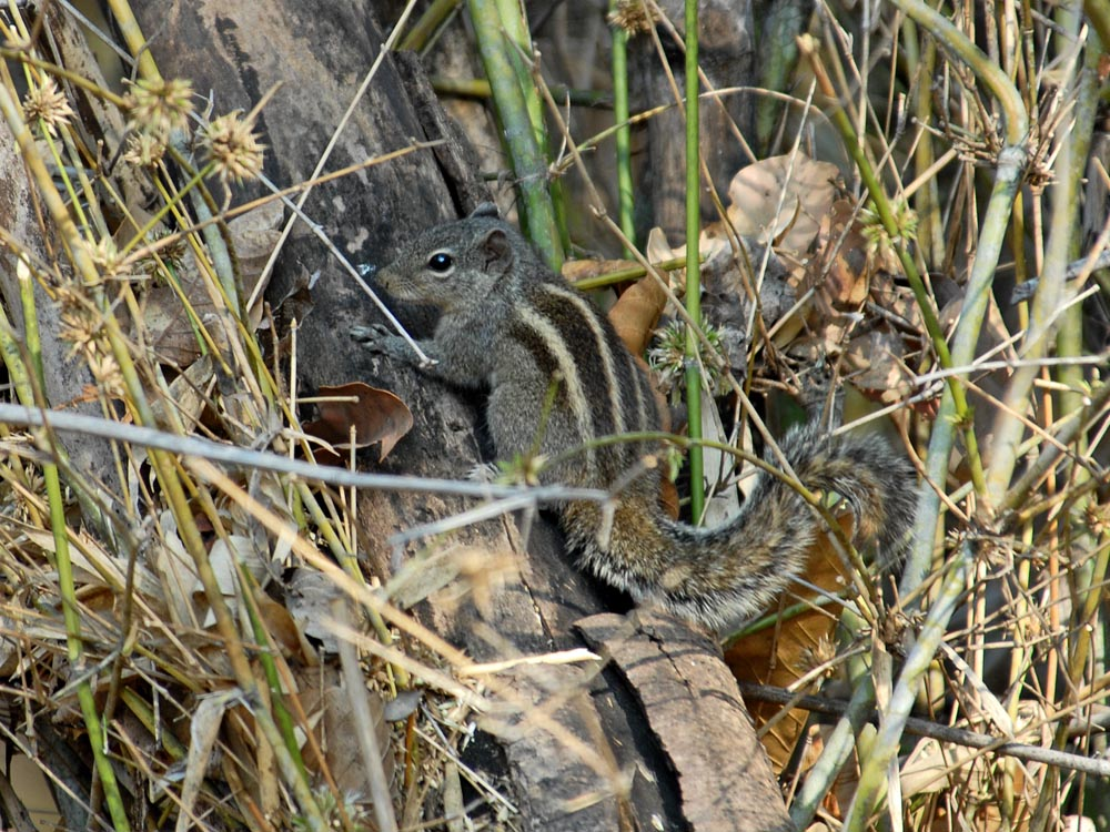 020 three-banded grey squirrel.jpg