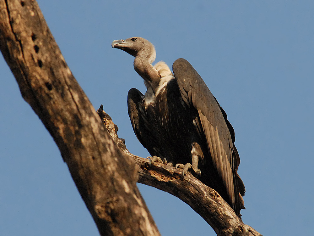 027 long-billed vulture.jpg