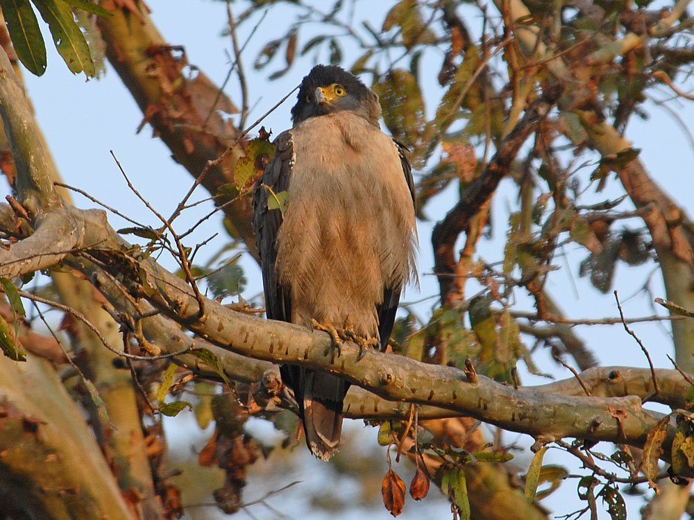 032 crested serpent eagle.jpg