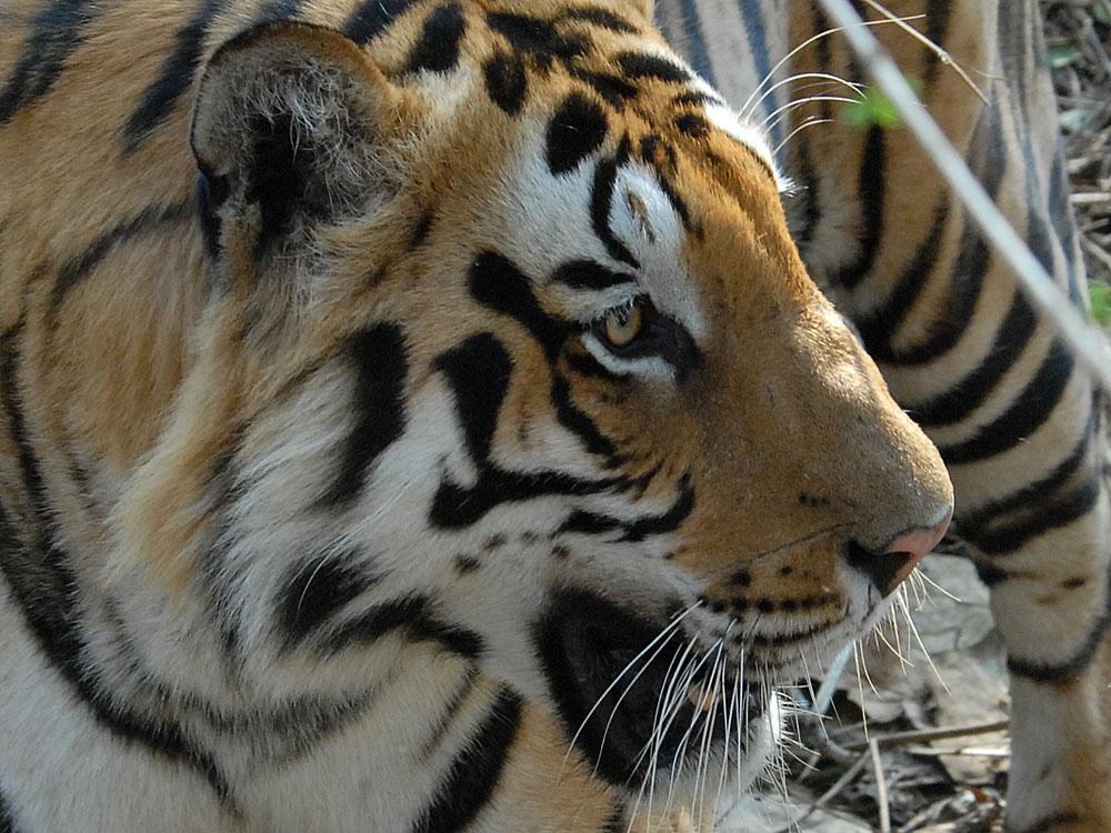 035 tiger.jpg