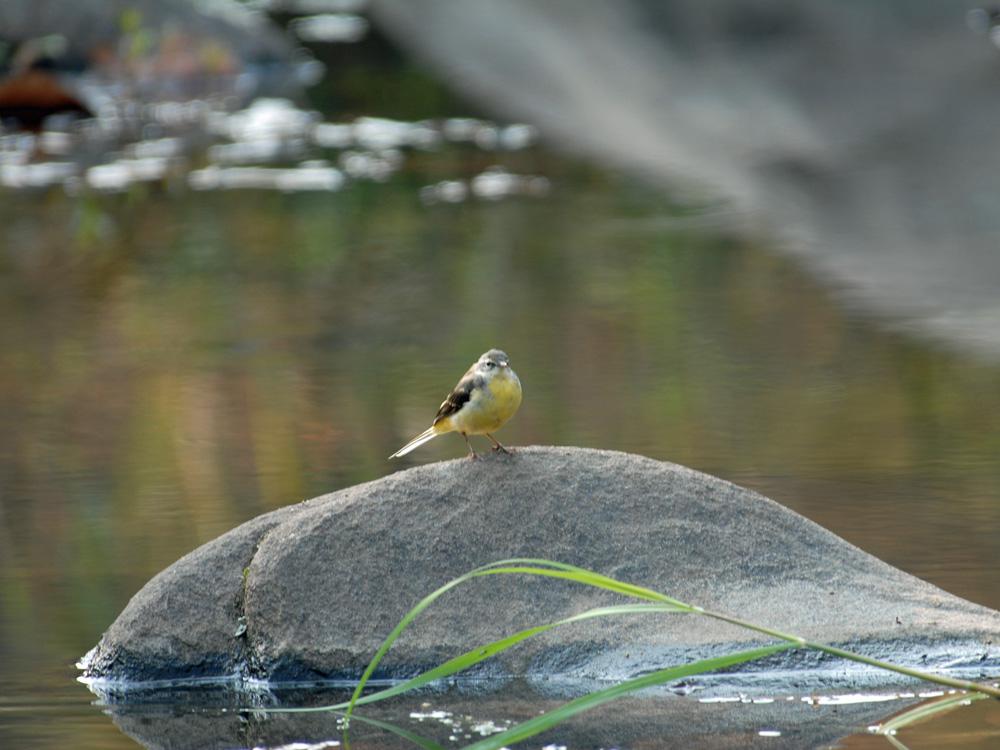 044 yellow wagtail.jpg