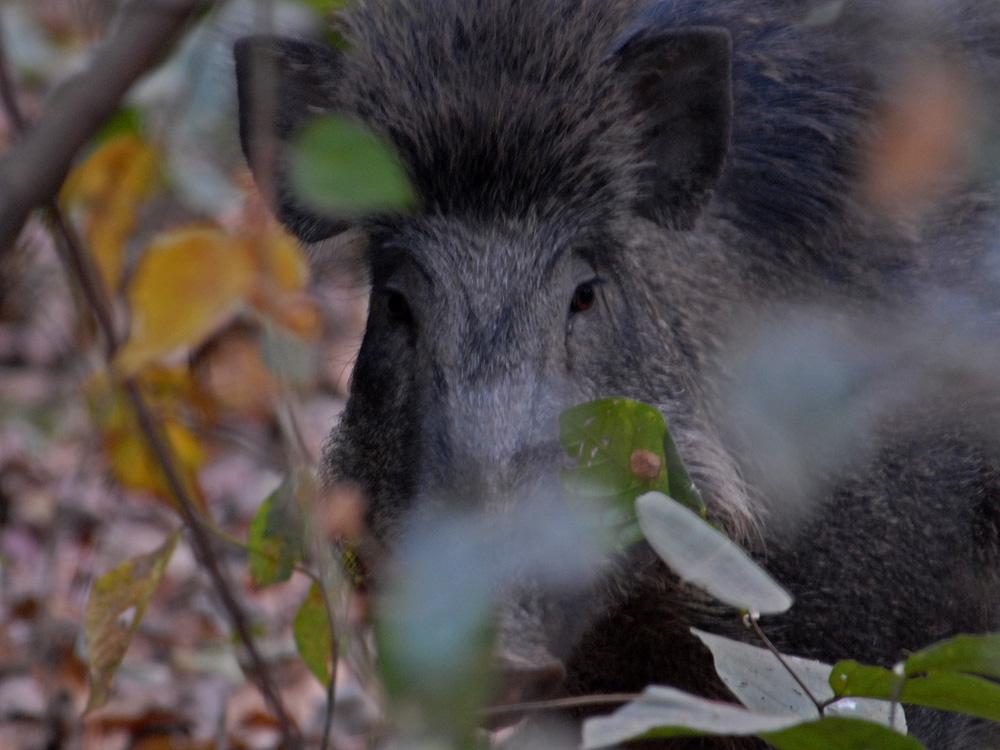 054 wild boar.jpg
