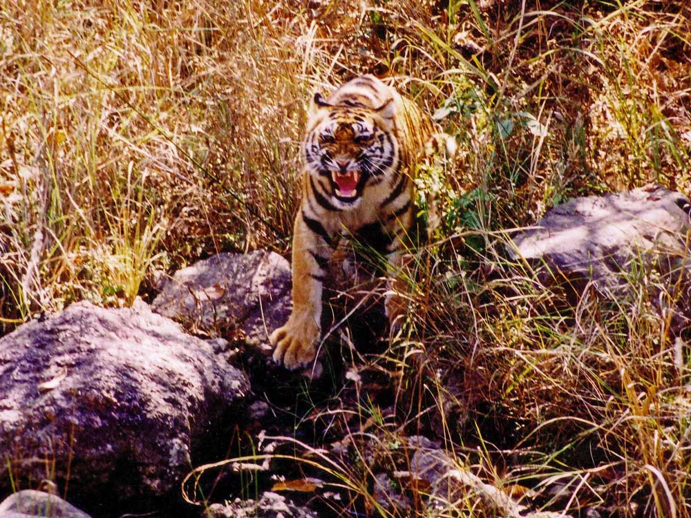 010 tigress growling.jpg