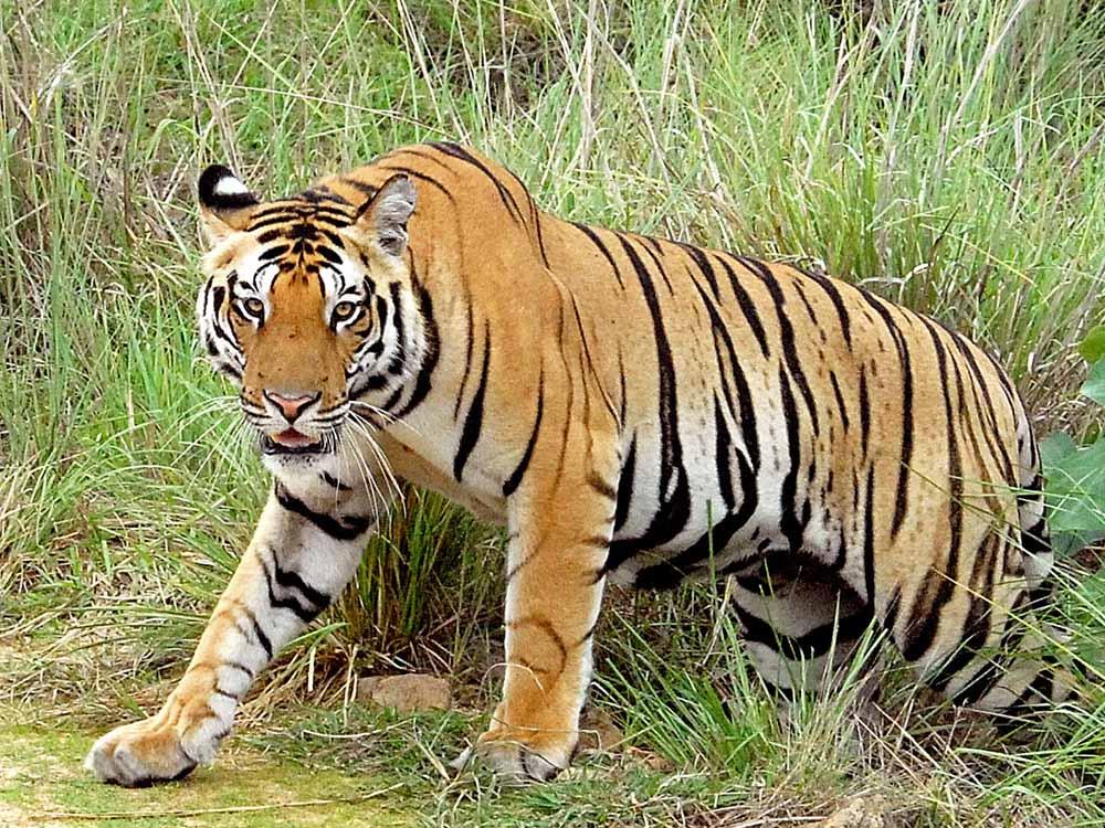 027 tiger.jpg