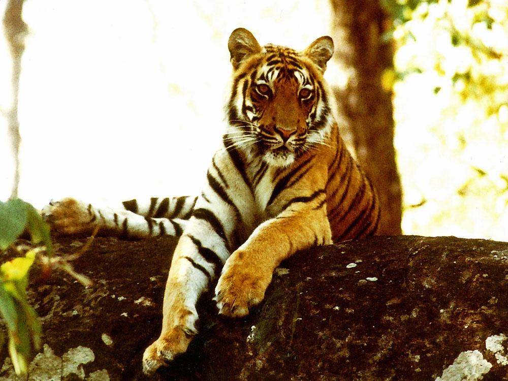 037 tiger.jpg