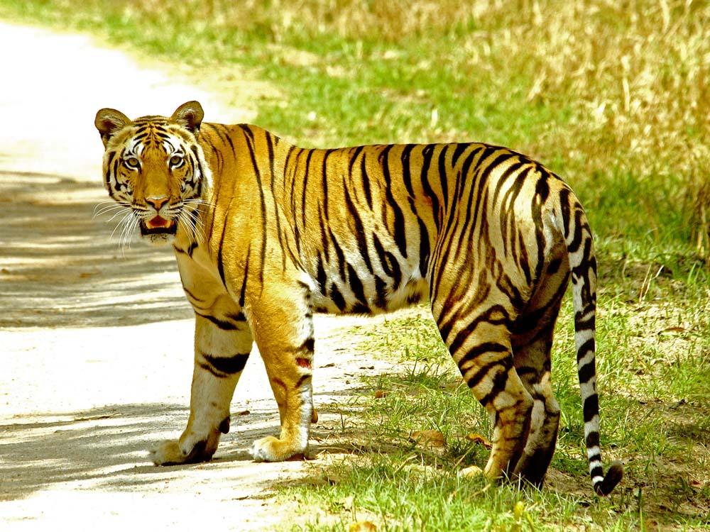 046 tigress.jpg