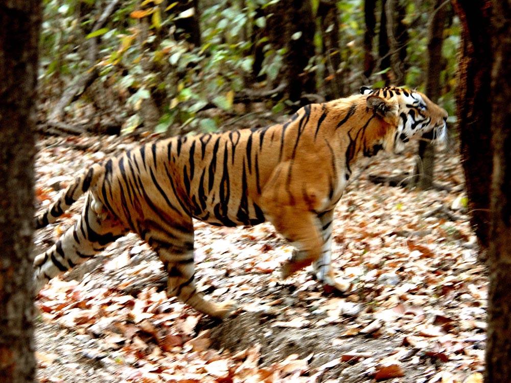 058 tiger.jpg