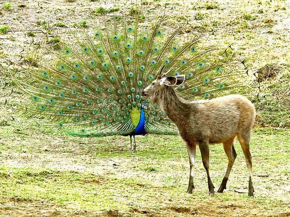 061 peacock & sambar.jpg