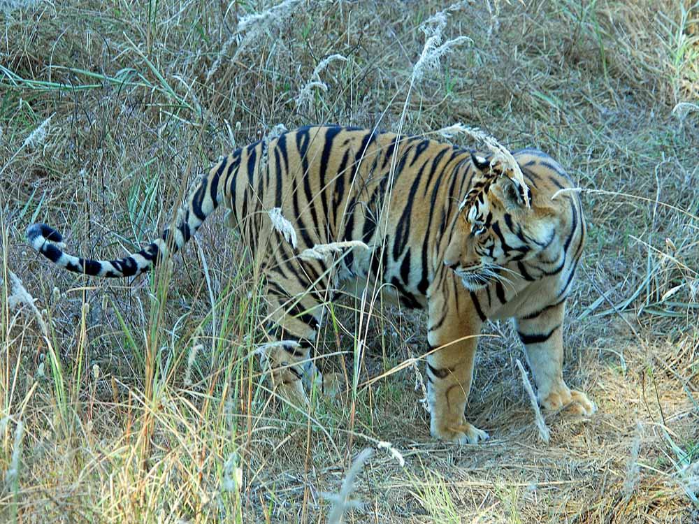 015 tiger.jpg