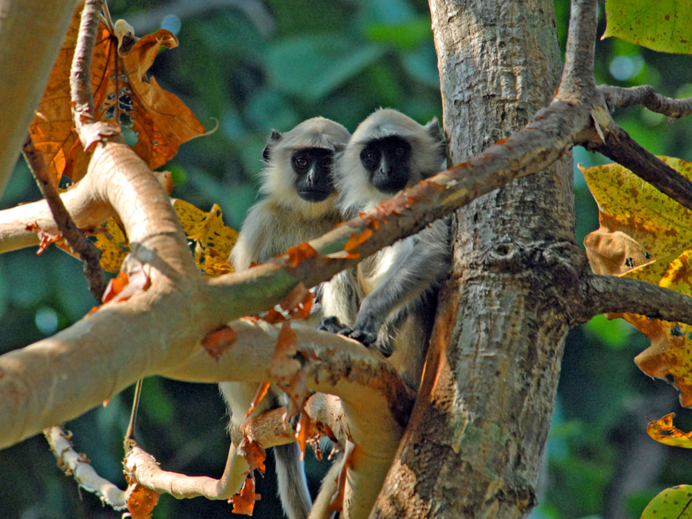 017 langur friends.jpg