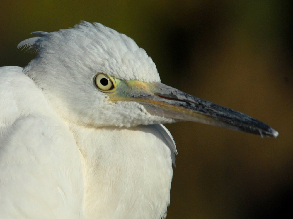 027 little egret.jpg