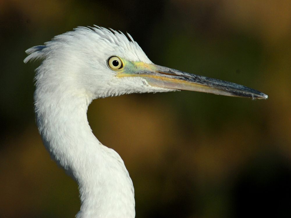 028 little egret.jpg