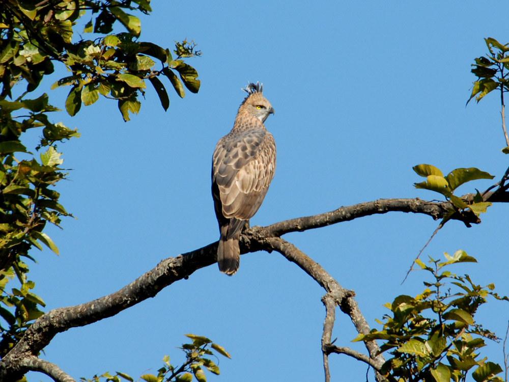 032 changeable hawk eagle - juvenile.jpg