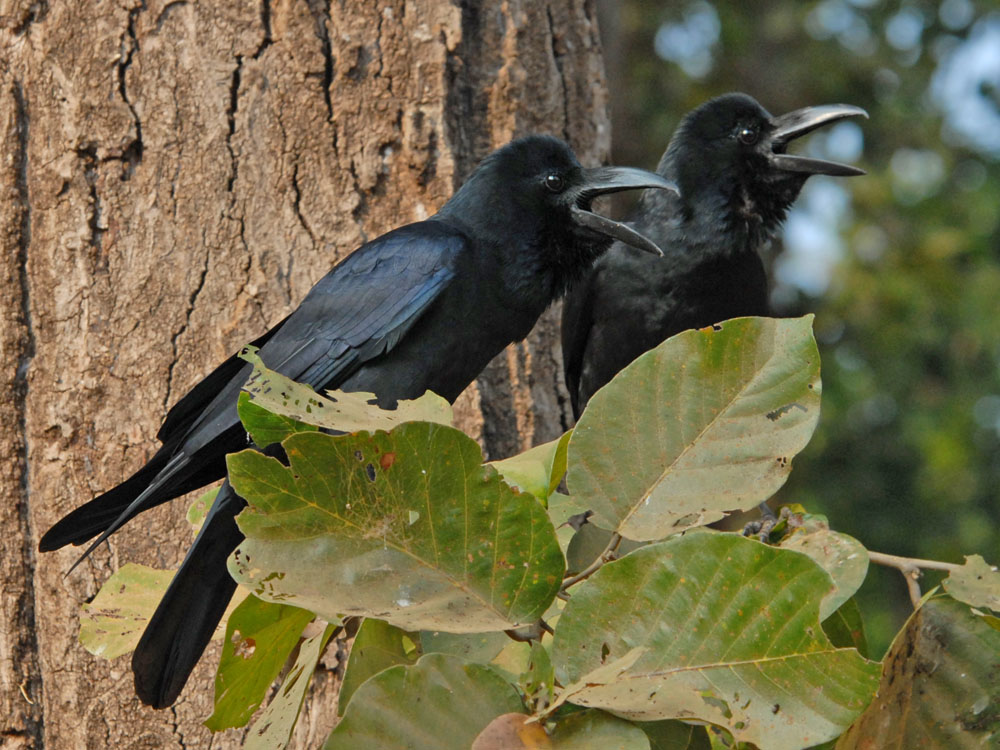 037 jungle crows.jpg