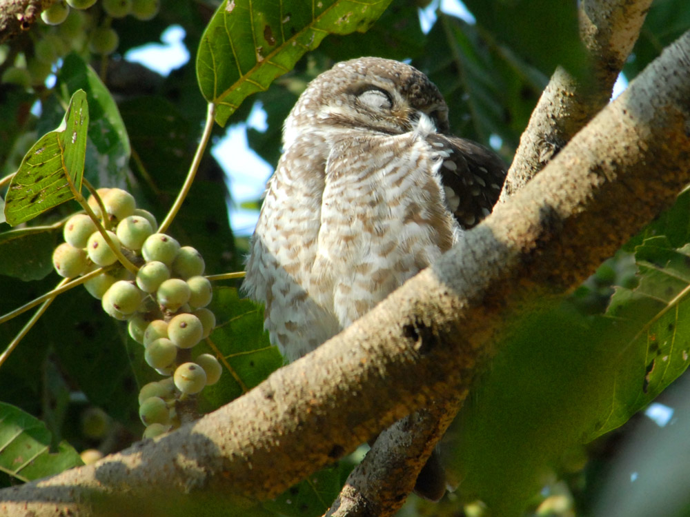 042 spotted owlet.jpg
