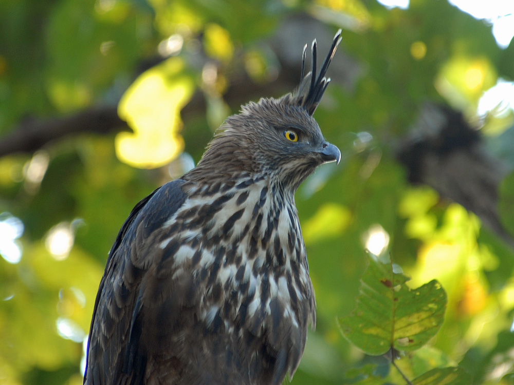 043 changeable hawk eagle.jpg