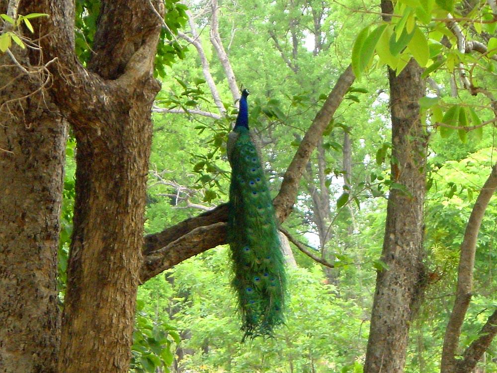 052 peacock.jpg
