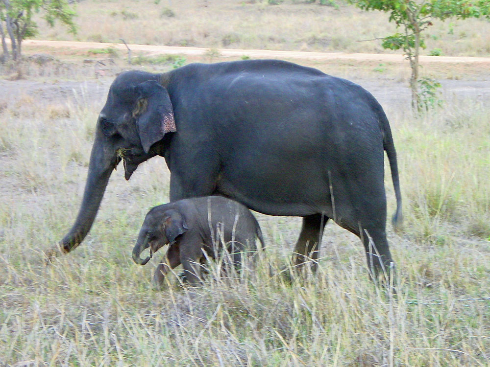 056 elephant mama & baby a few days old.jpg