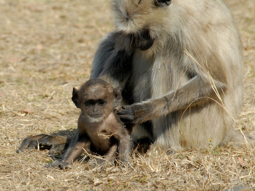 062 langur baby bath time.jpg