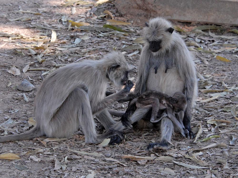 064 langur grooming.jpg