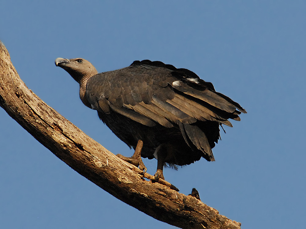 069 long-billed vulture.jpg